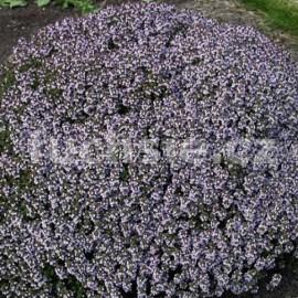 Mateřidouška (Thymus vulgaris Compacta)