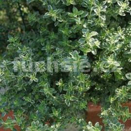 Mateřidouška citronová (Thymus vulgarit Silver queen)