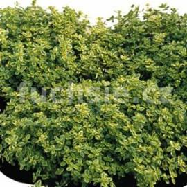 Tymián citronový (Thymus citrodorus - Mystic lem)