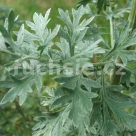 Pelyněk pravý (Artemisia absinthium)