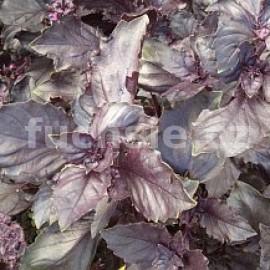 Bazalka červená (Ocimum basilicum Chianti)