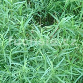 Artemisia drancunculus (Estragon francouzský)