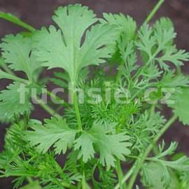 Coriandrum sativum-Koriandr (-Koriandr)