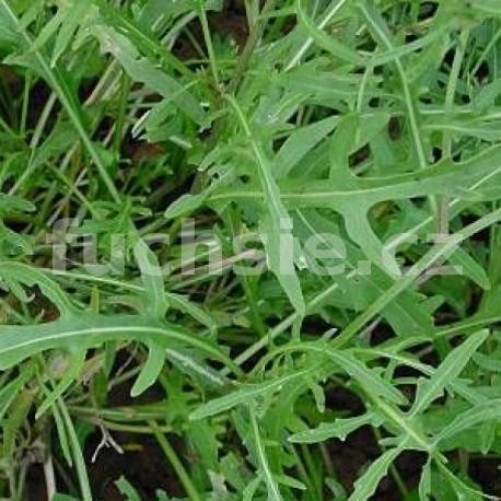 Rukola (Diplotaxie tenuifolia)
