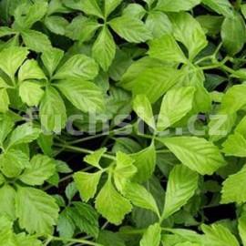 Ženšen pětilistý (Gynostemma pentaphyllum)
