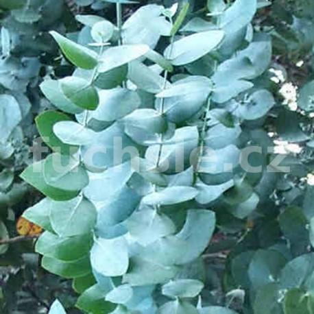Eukalyptus gunni
