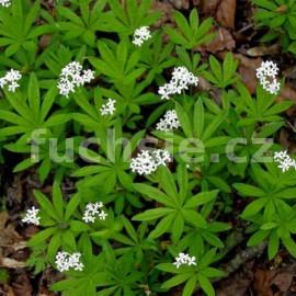Galium odoratum-Mařinka (Mařinka vonná)