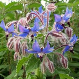 Borago officinalis-Brunták lékařský (Brunták lékařský)
