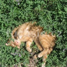 nepeta catariata . šanta kočičí (Šanta kočičí)