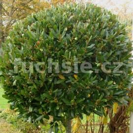 Laurus nobilis ,bobkový list (Bobkový list - Vavřín)