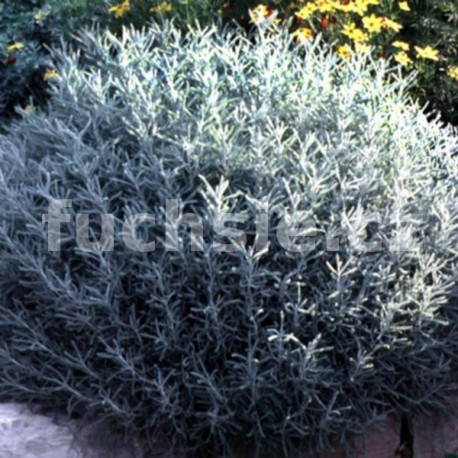 Santolina chameocyparissus (svatá bylina)