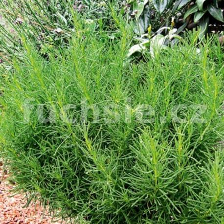 Santolina viridis olivenkraut (svatolína olivová)