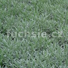 Helichrisum italicum Aladin (Kari koření ALADIN)