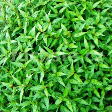 Persicaria odorata -koriandr vietnamský (Koriandr Vietnamský)