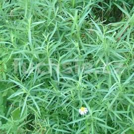 Artemisia drancunculus (Estragon francouzský,)