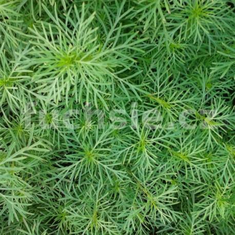 Lékořice nepravá (Tagetes filifolia)