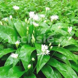 Medvědí česnek  (Allium ursinum)