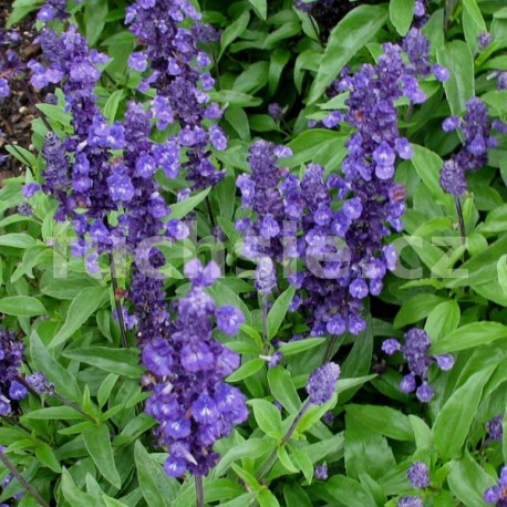 Salvia farinacaea (Šalvěj)