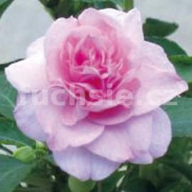 Impantiens Walleriana růžový Balzamína (balzamína)