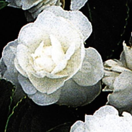Impantiens Walleriana  bílý Balzamína (balzamína)
