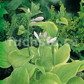 Hosta Fragant Bouquet