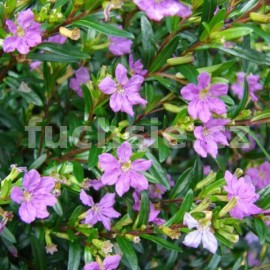 Kupea fialová (Cuphea Hyssopifolia)