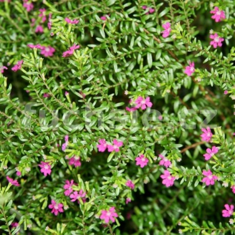 Kupea růžová (Cuphea Hyssopifolia)