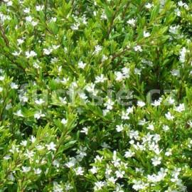 Kupea bílá (Cuphea Hyssopifolia)