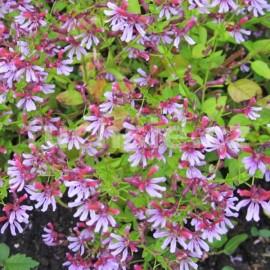 Cuphea Ramosissima (Kupea)