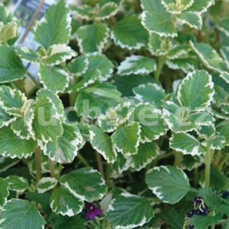 Plectranthus Coleoides Molice