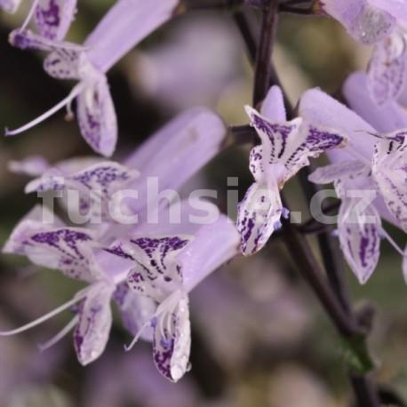 Molice Plectranthus (Molice)