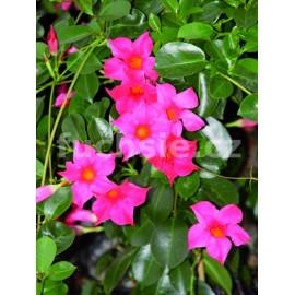 Mandevilla Sanderi)- sytě růžová