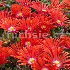 Lampranthus červený
