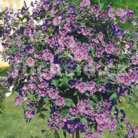 Solanum ran. Hořcový stromek (Hořcový stromek)