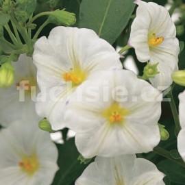 Solanum ran. Hořcový strome (Hořcový stromek bílý)