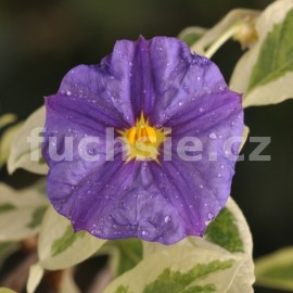 Solanum rant. Hořcový stromek (Hořcový stromek)
