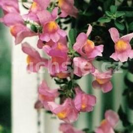 Antirrinum Pendula Hledík růžový (Hledík růžový převislý)