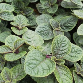 Molice brvitá (Plectranthus ciliatus)