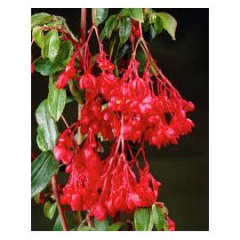Begonie fuchsiová (převislá) červená