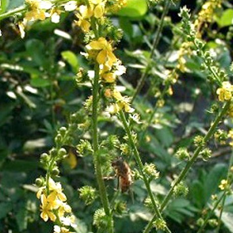 Řepík lékařský (Agrimonie eupatoria)