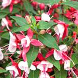 Fuchsita XL Deep Rose-white