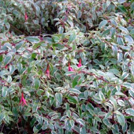 Magellanica Tricolori