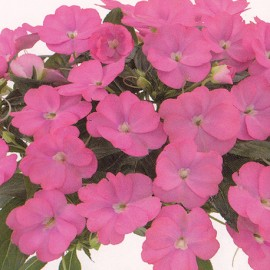 Balzamína růžová (Impantiens Neu Balzamína)