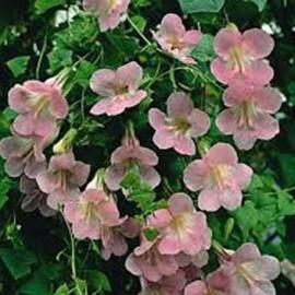 Asarina růžová (Lofos)