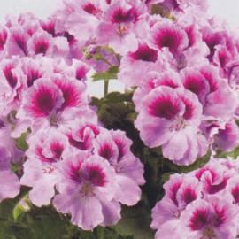 Aristo Orchid Grandiflorum