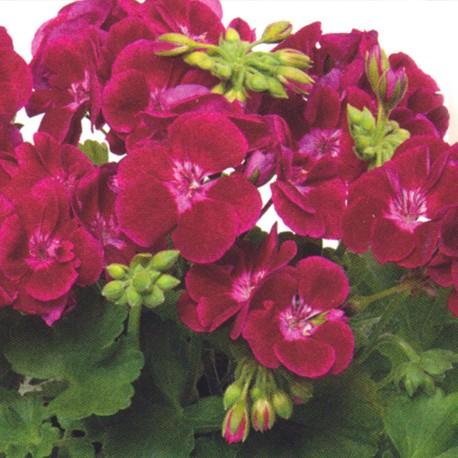 Flower Fairy Velvet