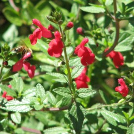 Šalvěj (Lemmonova) – Salvia lemmonii