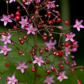 Talinum latnaté  – Talinum paniculatum