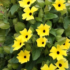 Černooká Zuzana – Thunbergia Lemon Star
