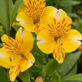 Alstromérie – lilie inků – Alstroemeria sp.